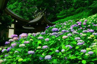 えびす宮と紫陽花