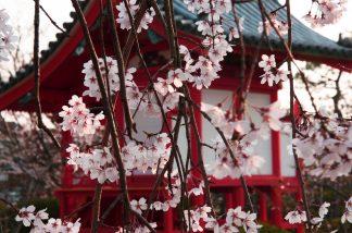 垂れ桜と宇賀神社