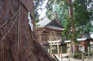 吉川八幡宮の檜