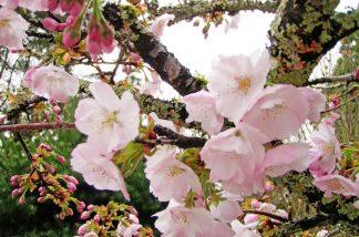 見明戸八幡桜