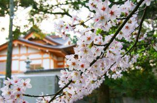 鶴崎神社の桜