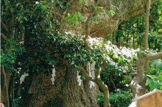 700年の楠の木