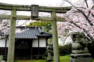 桜咲く境内