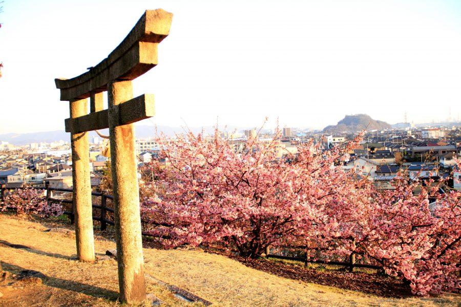 鳥居と彼岸桜