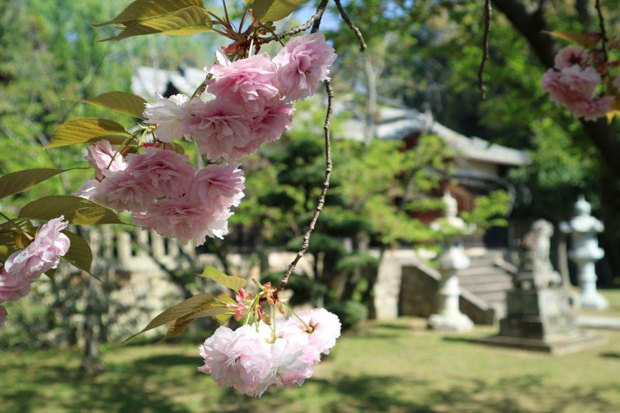 八重桜と社殿