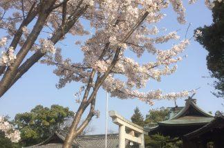 長尾神社の桜1