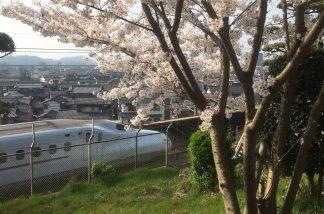 長尾神社の桜2