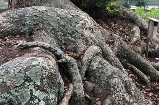 タコ足の楠
